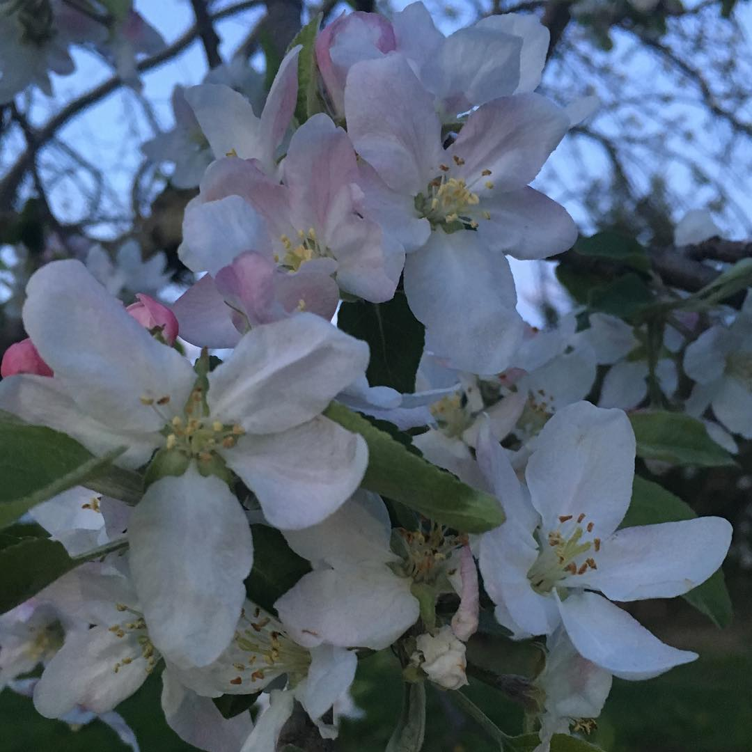 Our Apple  orchard is in full bloom can't wait for some delicious apples this fall