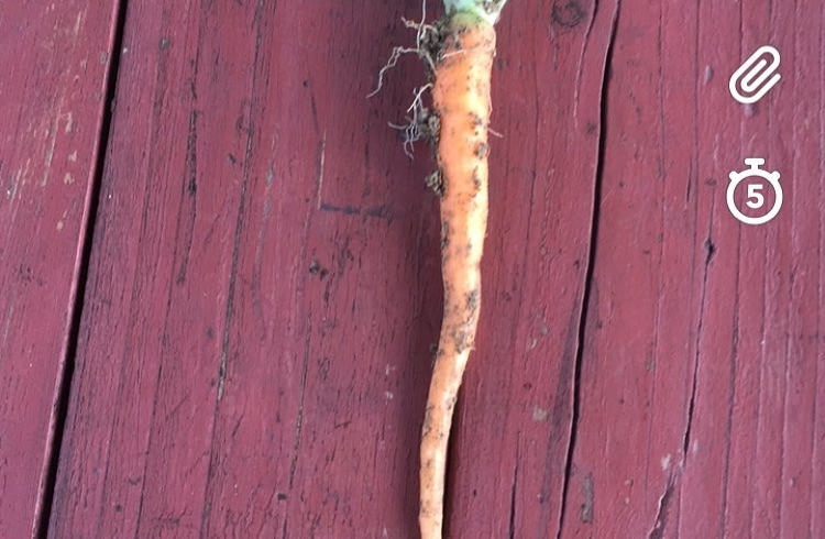 The suspense was killing me so I had to pull a carrot to see if they're actually growing. I'm so excited